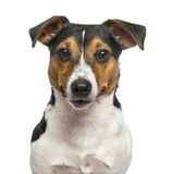 Jack Russell Terrier isolated on white Stock Photography