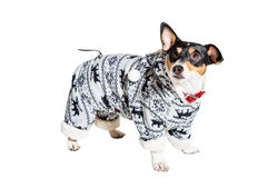 Jack Russell Terrier, isolated on white Royalty Free Stock Photo