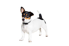 Jack Russell Terrier, isolated on white Royalty Free Stock Images