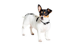 Jack Russell Terrier, isolated on white Stock Image