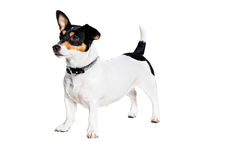 Jack Russell Terrier, isolated on white Stock Photography