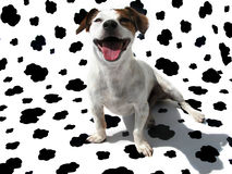 Jack Russell Terrier JRT on Cow Canvas Royalty Free Stock Image