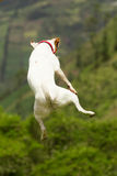 Jack Russell Terrier Jumping Around images libres de droits
