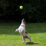 Jack Russell terrier jumping for a ball. A Jack Russell terrier about to jump to catch her ball Royalty Free Stock Images