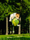 Jack Russell Terrier jumping with flying dusk (grouped jump). Dog playing frisbee in a park Stock Photo