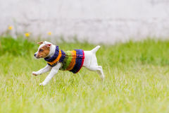 Jack Russell Terrier Jumping Happily Royalty Free Stock Photography