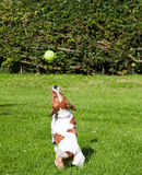 Jack Russell terrier jumping for her ball. A Jack Russell terrier preparing to jump and catch her ball. Photo taken on a summer afternoon in rural England Royalty Free Stock Photos
