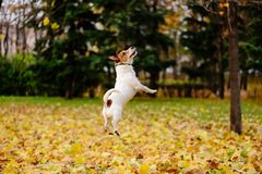 Beautiful fall autumn season scene with happy active dog. Jack Russell Terrier jumping at lawn covered with yellow leaves Royalty Free Stock Image