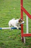 Jack Russell Terrier jumping over a hurdle Royalty Free Stock Photos