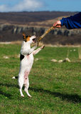 Jack russell terrier jumping Stock Images