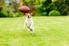 Funny dog playing with american football ball at backyard lawn Stock Image