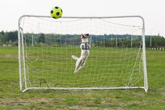 Funny dog playing football as a goalkeeper curved jump Royalty Free Stock Photography