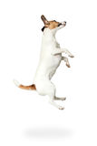 Jack Russell Terrier jumping up Royalty Free Stock Image