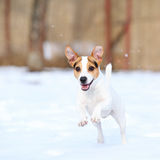 Jack russell terrier jumping in winter Stock Photo