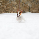 Jack russell terrier jumping in winter Royalty Free Stock Image