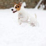 Jack russell terrier jumping in winter Royalty Free Stock Photo