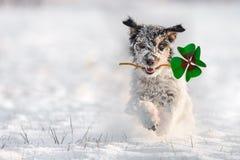 Jack Russell Terrier kör i snön och bär en fou arkivfoton