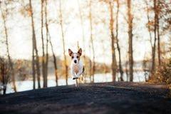 Jack Russell Terrier körningar och blickar framåtriktat royaltyfria bilder