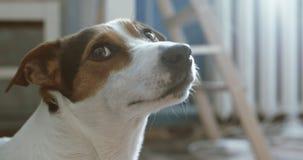 Jack Russell Terrier kłaść onlays na jego miejscu zbiory wideo