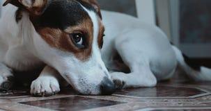 Jack Russell Terrier kłaść onlays na jego miejscu zdjęcie wideo