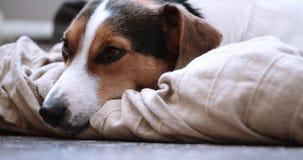 Jack Russell Terrier kłaść onlays na jego miejscu zbiory