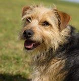 Jack Russell Terrier krzyż Fotografia Royalty Free