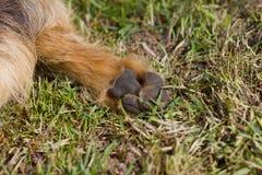 Jack Russell Terrier krzyża stopa Fotografia Stock
