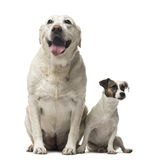 A Jack Russell Terrier and a Labrador Retriever sitting Royalty Free Stock Image