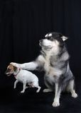 Jack Russell Terrier and Large Dog Stock Image