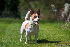 Jack Russell terrier on a lawn Stock Images