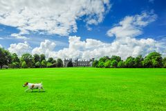 Jack Russell Terrier on the lawn of Kilkenny Castle. A dog runs across the vast lawn of Kilkenny Castle on a bight sunny afternoon, Kilkenny, Ireland Royalty Free Stock Image
