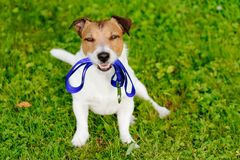Dog holding leash in mouth waiting for walk. Jack Russell Terrier with leash looking at camera Stock Images