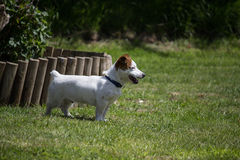 Jack Russell Terrier legged corto fotografía de archivo