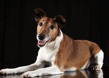 Jack Russell Terrier looking in black studio. Jack Russell Terrier looking in a black studio Stock Photo