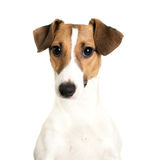 Jack Russell Terrier looking Stock Photo