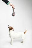 Jack Russell Terrier looking to up Stock Photos