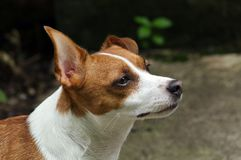 Jack Russell Terrier Looking Up Royalty-vrije Stock Foto