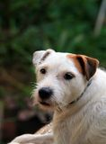 JACK RUSSELL TERRIER. Looking at viewer stock photography