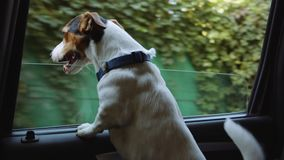 Jack Russell Terrier looks out the open window of the car . Small dog breed Jack Russell Terrier looks out the open window of the bus stock video