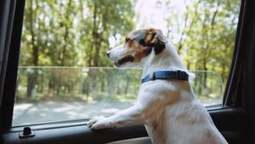 Jack Russell Terrier looks out the open window of the car . Small dog breed Jack Russell Terrier looks out the open window of the bus stock footage