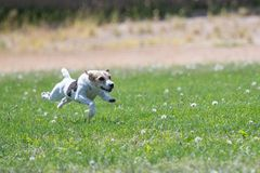 Jack Russell terrier on the lure course. Jack Russell terrier chasing the lure on a fast cat coursing line stock images