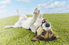 Jack Russell terrier Lying On Back In Grass Stock Photography