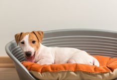 Jack Russell Terrier Lying on Dog Bed Royalty Free Stock Photos