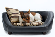 Jack Russell Terrier Lying en cama de lujo del perro foto de archivo