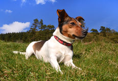 Jack Russell Terrier Lying in the grass Stock Photos