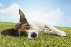 Jack Russell Terrier Lying On Grass Imagen de archivo libre de regalías