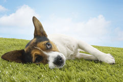 Jack Russell Terrier Lying On Grass Royalty Free Stock Image