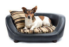 Jack Russell Terrier Lying on Luxury Dog Bed Royalty Free Stock Photography