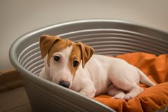 Jack Russell Terrier Lying op Hondbed stock foto