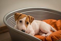 Jack Russell Terrier Lying på hundsäng arkivfoto